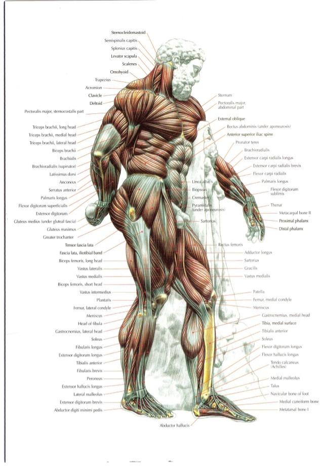 Strength Training Anatomy 2nd Edition – www.europeanpharmacyonline.com