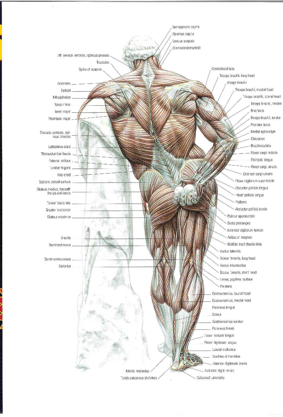 Strength Training Anatomy 2nd Edition European Pharmacy Online